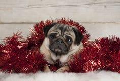 逗人喜爱的圣诞节哈巴狗小狗,躺下在羊皮的红色闪亮金属片, 库存照片