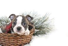 逗人喜爱的圣诞节牛头犬小狗 库存照片