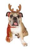 逗人喜爱的圣诞节驯鹿狗 免版税库存图片