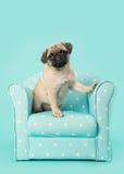 逗人喜爱的在一把蓝色椅子的开会年轻哈巴狗狗sititng与在蓝色背景的白色小点 免版税库存照片