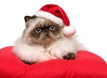 逗人喜爱的在圣诞老人帽子的圣诞节波斯colourpoint猫 图库摄影