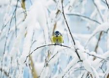 逗人喜爱的在用白色报道的分支的鸟天蓝色的树画象  库存图片