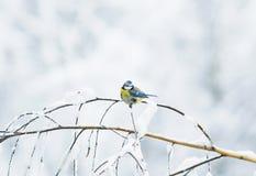 逗人喜爱的在用白色雪报道的分支的鸟天蓝色的树剥落 库存照片