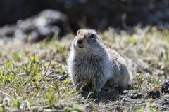 逗人喜爱的地松鼠 库存照片