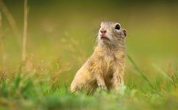 逗人喜爱的地面松鼠类黄鼠属 免版税库存照片