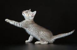 逗人喜爱的埃及人Mau小的小猫 免版税库存图片