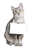 逗人喜爱的埃及Mau猫 免版税库存照片