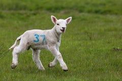 逗人喜爱的域绿色羊羔 免版税库存图片