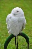 逗人喜爱的多雪的猫头鹰 免版税库存图片