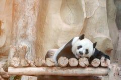 逗人喜爱的大熊猫或大猫熊melanoleuca喜欢使用在动物园 有美丽的毛皮的可爱的大熊 免版税库存照片