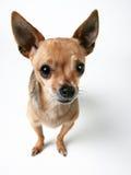 逗人喜爱的奇瓦瓦狗一点 库存照片