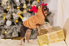 逗人喜爱的奇瓦瓦狗狗,圣诞节概念 库存照片