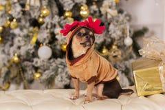逗人喜爱的奇瓦瓦狗狗,圣诞节概念 库存图片