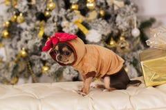逗人喜爱的奇瓦瓦狗狗,圣诞节概念 免版税库存图片