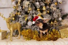 逗人喜爱的奇瓦瓦狗狗,圣诞节概念 免版税图库摄影