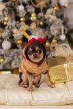 逗人喜爱的奇瓦瓦狗狗,圣诞节概念 免版税库存照片