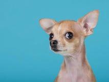 逗人喜爱的奇瓦瓦狗狗画象 库存图片
