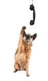 逗人喜爱的奇瓦瓦狗联系在电话 库存图片