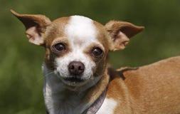 逗人喜爱的奇瓦瓦狗 免版税库存照片