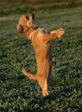 逗人喜爱的奇瓦瓦狗 库存照片