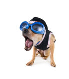 逗人喜爱的奇瓦瓦狗 免版税库存图片