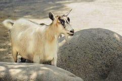逗人喜爱的奶油颜色山羊 免版税库存照片
