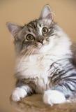 逗人喜爱的好奇小猫 库存照片