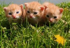 逗人喜爱的姜似小猫 免版税库存图片