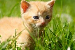 逗人喜爱的姜似小猫 库存照片