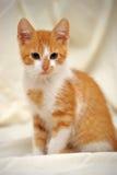 逗人喜爱的姜小猫 库存照片