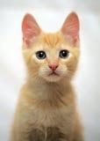 逗人喜爱的姜小猫 免版税库存照片