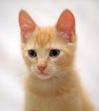 逗人喜爱的姜小猫 库存图片