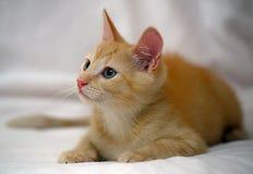 逗人喜爱的姜小猫 免版税库存图片