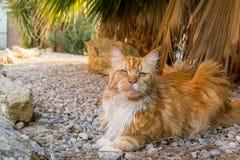 逗人喜爱的姜猫 库存图片
