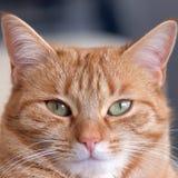 逗人喜爱的姜猫 免版税图库摄影