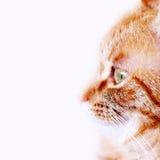 逗人喜爱的姜猫 免版税库存图片