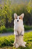 逗人喜爱的威尔士小狗狗把戏 库存图片