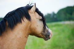 逗人喜爱的威尔士小马 免版税库存图片