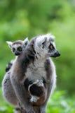 逗人喜爱的婴孩尾部有环纹她的狐猴 免版税库存照片