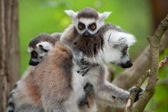 逗人喜爱的婴孩尾部有环纹她的狐猴 库存图片