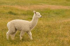 逗人喜爱的婴孩羊魄牲口 免版税图库摄影