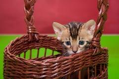 逗人喜爱的孟加拉小猫在一个柳条筐坐 一个月大 库存图片