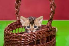 逗人喜爱的孟加拉小猫在一个柳条筐坐 一个月大 免版税图库摄影