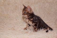 逗人喜爱的孟加拉小猫坐毛皮毯子 一个月大 免版税库存图片
