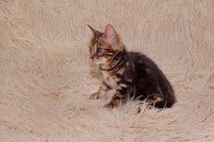 逗人喜爱的孟加拉小猫坐毛皮毯子 一个月大 免版税库存照片