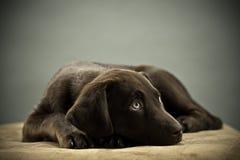 逗人喜爱的实验室小狗 图库摄影