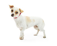 逗人喜爱的害羞的奇瓦瓦狗杂种狗 库存照片