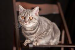 逗人喜爱的家养的灰色猫坐一把棕色椅子 库存照片