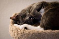 逗人喜爱的家庭猫 免版税图库摄影