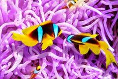 逗人喜爱的小丑鱼夫妇在银莲花属的灌木的  库存照片